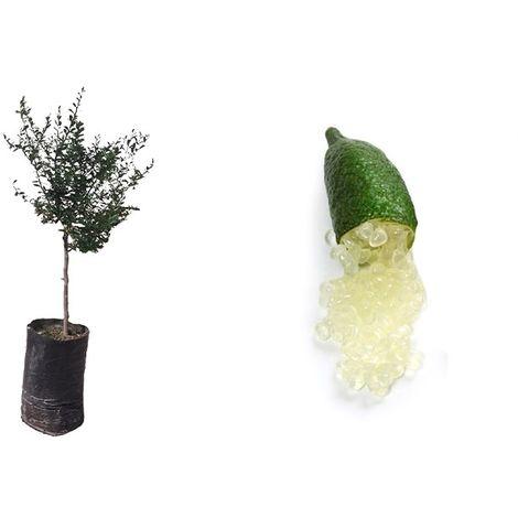 Pianta di Limone Caviale Bianco (Citrus Australasica) in fitocella