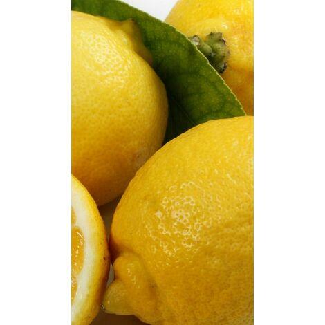 Pianta di limone dolce in fitocella (foto reali)