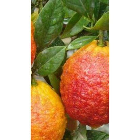 Pianta di limone ROSSO in fitocella (foto reali)