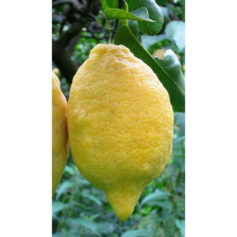 Pianta di limone sfusato amalfitano in fitocella (foto reali)