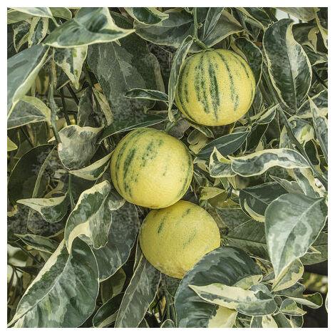 Pianta di Limone Variegato vaso 20cm