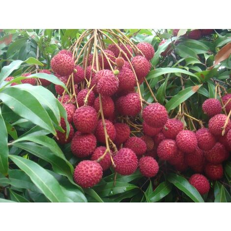 Pianta di Litchi chinensis Mauritius