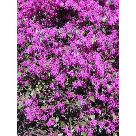 Pianta di loropetalum cespuglio arredo giardino - vaso 7cm -
