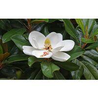 Pianta di magnolia grandiflora in vaso Ø 15