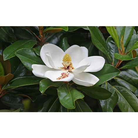 Pianta di Magnolia Grandiflora in vaso ø18 cm h.80/90 cm magnolia sempreverde