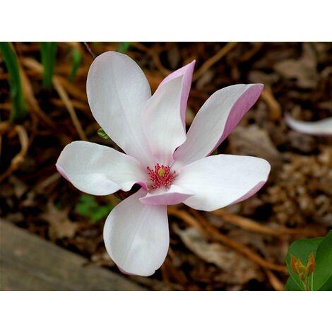 Pianta di Magnolia x Betty in vaso ø13 cm h.30/50 cm
