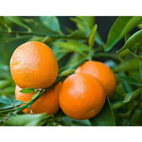 Pianta di Mandarino Clementino Mandarancio Agrumi