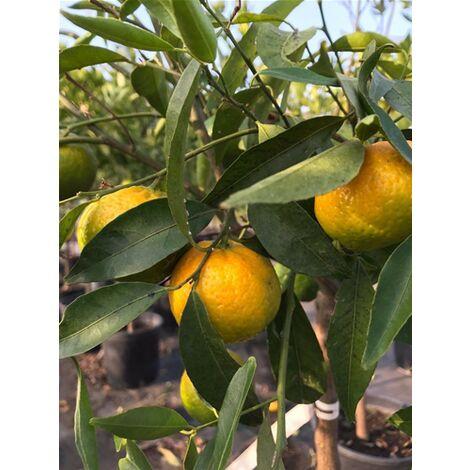 Pianta di mandarino mandarini agrumi di Sicilia in fitocella