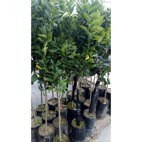 Pianta di mandarino PRECOCE in fitocella (foto reali) cm 160