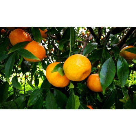 Pianta di Mandarino Tardivo di Ciaculli in fitocella