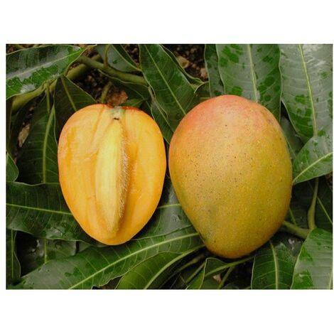 Pianta di Mango Mangifera indica gomera