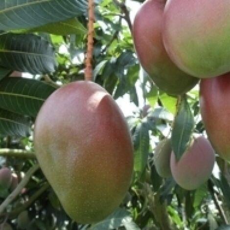 Pianta di mango Mangifera Indica Keitt Innestata