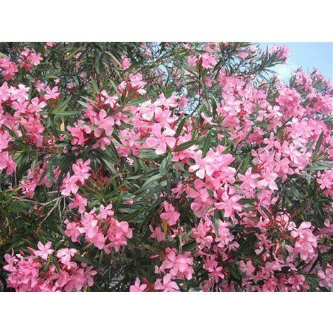 """Pianta di Oleandro a cespuglio """"Nerium Oleander"""" in vaso ø18 cm h. 100/120 cm"""
