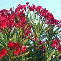 Pianta di oleandro cespuglio di oleandro rosso vaso 7