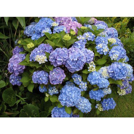 Pianta di Ortensie Ortensia Hydrangea in vaso ø18 cm vari colori