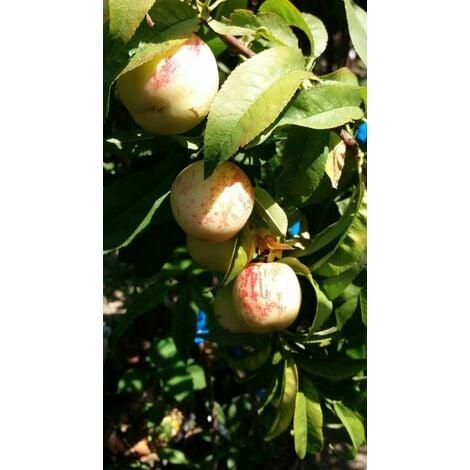 """PIANTA DI PESCA MERENDELLA """"incrocio pesca e mela"""" (foto reale) frutto antico"""