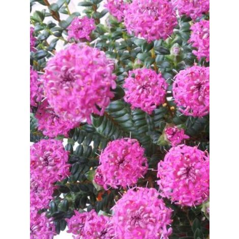 Pianta di pimelea ferruginea cespuglio arredo giardino vaso 7
