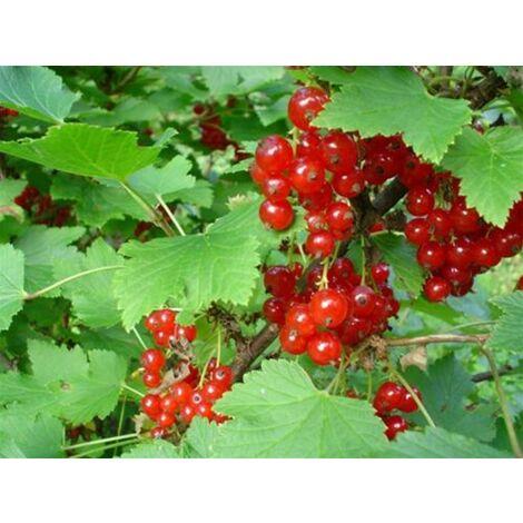 Pianta di Ribes Rosso Tardivo piante da frutto frutti di bosco in vaso ø18 cm