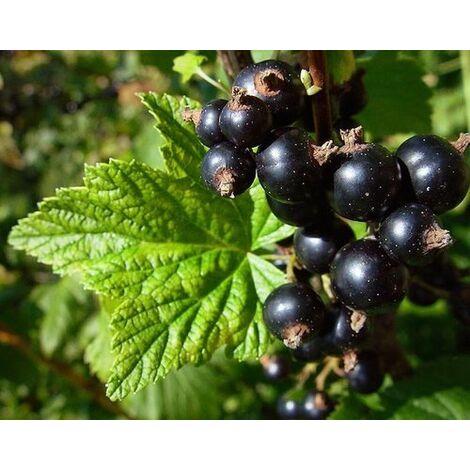 Pianta di Ribes rubrum nero vaso 18cm