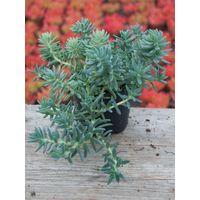 Pianta di sedum rupestris angelina succulente piante grasse succulenti grassa