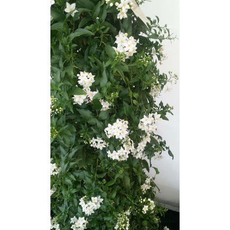 Pianta di solanum jasminoides pianta rampicante gelsomino notturno vaso 7