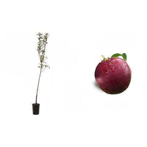 Pianta di Susino Sangue di Drago (Prunus Domestica) In Fitocella