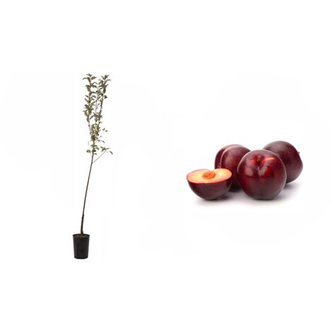 Pianta di Susino Santa Rosa (Prunus Domestica) in fitocella