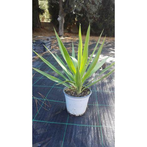 Pianta di yucca elephantipes aloifolia piante grasse vaso 14 felicità