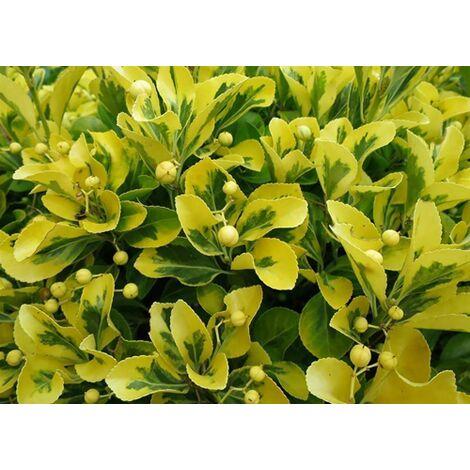 Pianta Euonymus Fortunei Emerald Gold in vaso ø16 cm Sempreverdi e Rampicanti