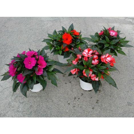 Piante Fiori.Pianta Fiori Impatiens Sunpatiens In Vaso 14 Decorazione Giardino