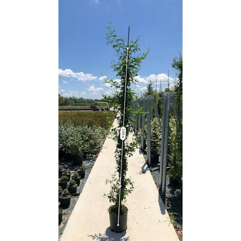 Pianta Gelsomino Azoricum vaso 22cm - Piante Rampicanti