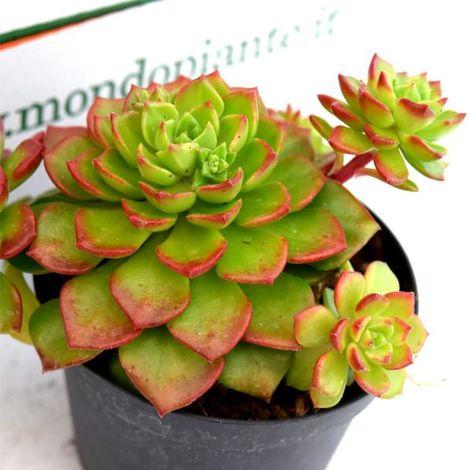 Pianta di Sedum Rosso sedum spurium fuldaglut Sedum Rosso vaso 7cm