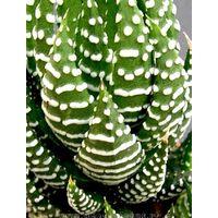 Pianta Haworthina Fasciata in Vaso 10cm - Piante Succulente