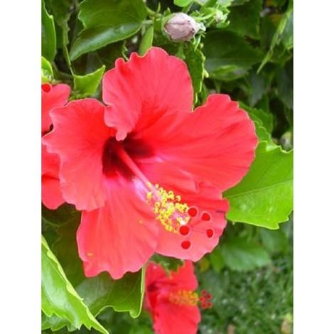 Pianta Hibiscus in Vaso 7cm 18cm - Piante Fiorite