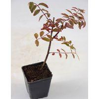 Pianta Hypericum Tricolor vaso 7cm,Altezza 10/15cm