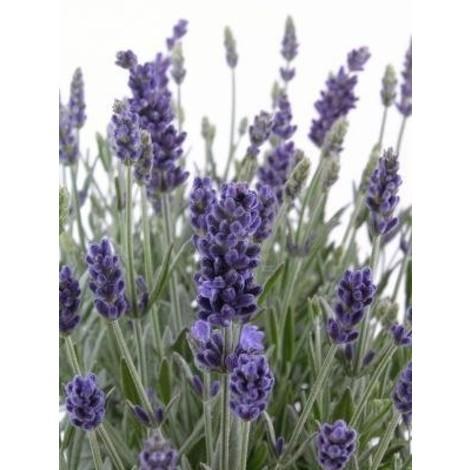 Pianta Lavanda disponibile in vaso 7cm 14cm 19cm - Piante Aromatiche