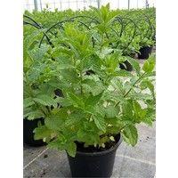 Pianta Menta Marocchana vaso 14cm h 30-50cm - Piante Aromatiche