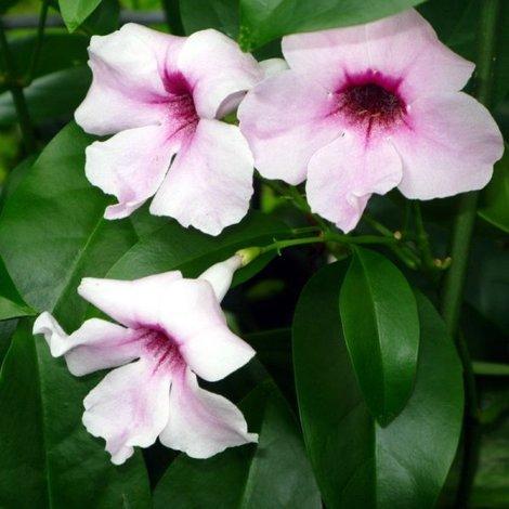 Pianta Pandorea Jasminoides