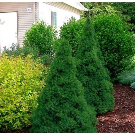 "Pianta ""Picea Glauca Conica"" in vaso ø14 cm conifera sempreverde h.40/60 cm"