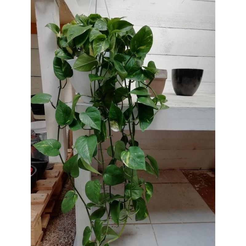 Piante Giapponesi Da Interno / La gaura è una pianta molto ...