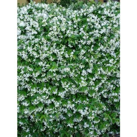 Pianta Rincospermum in Vaso 7cm 17cm - Piante Rampicanti