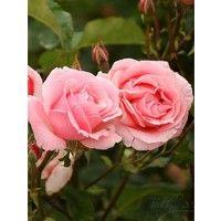 Pianta Rosa in Vaso 7cm 18cm 19cm - Piante Fiorite
