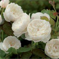 Pianta Rosa Inglese Bianca Vaso 24cm