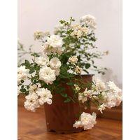 Pianta Rosa Paesaggistica Vaso 18cm