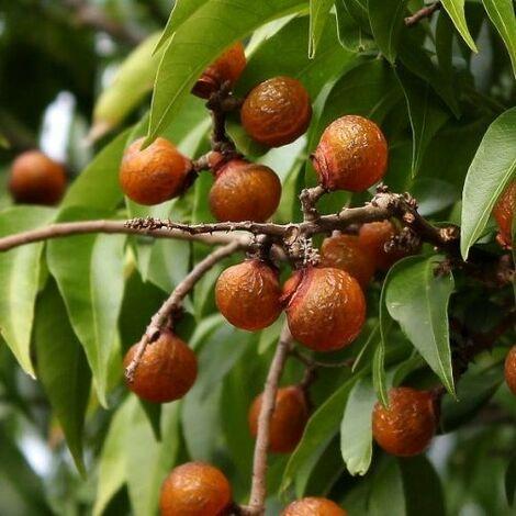 pianta sapindus saponaria Albero del Sapone