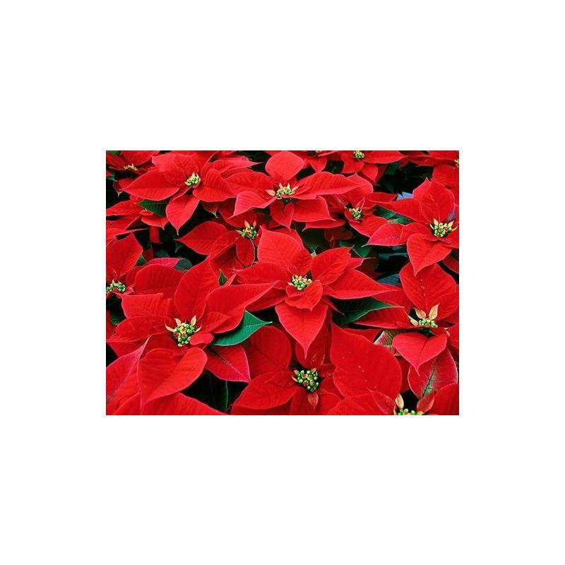 Pianta Stella Di Natale Prezzo.Pianta Stella Di Natale Euphorbia Pulcherrima Vaso 12 Vive Tutto L Anno Mpn Alveolo