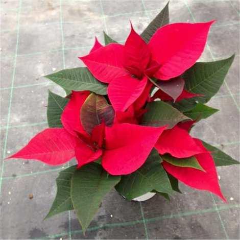 Stella Di Natale Cura E Manutenzione.Pianta Stella Di Natale Vaso 14cm