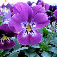 Pianta Viola Vaso 7cm