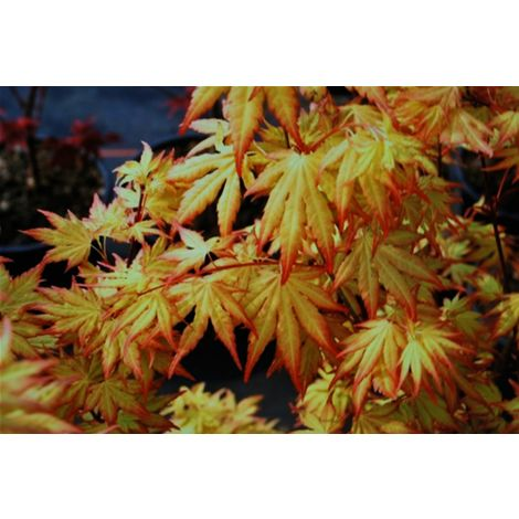 """Piante di Acero Rosso Giapponese """"Acer Palmatum Orange Dream"""" in vaso ø12 cm"""