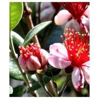 Piante di feijoa sellowiana - acca sellowiana burret vaso 7